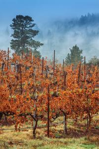 Misty Autumn Vineyard Scene, Calistoga Napa Valley by Vincent James