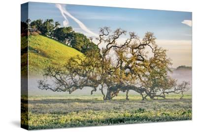 Misty Country Oak Tree, Petaluma, Sonoma County, California