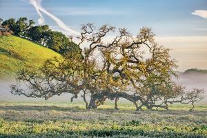 Misty Country Oak Tree, Petaluma, Sonoma County, California by Vincent James