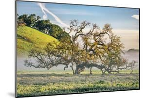 Misty Country Oak Tree, Petaluma, Sonoma County, California by Vincent James