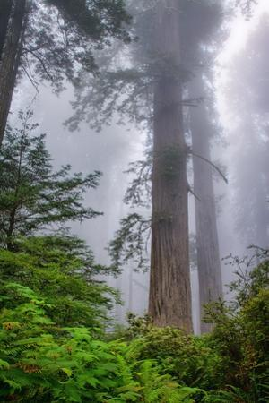 Misty Milky Redwood Tree, California Coast by Vincent James