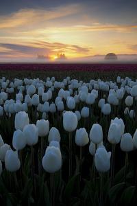 Misty morning Tulips, Woodburn, Oregon by Vincent James