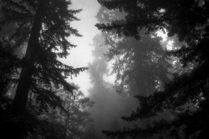 Misty Treetops, Redwood National Park by Vincent James