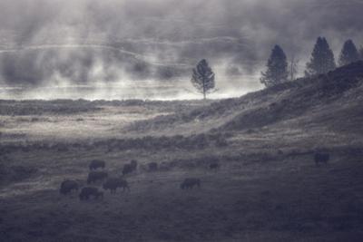 Moody Bison Landscape, Yellowstone