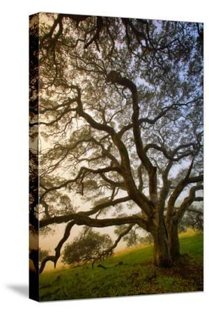 Mysterious Winter Oak, Petaluma, Sonoma County