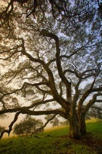 Mysterious Winter Oak, Petaluma, Sonoma County by Vincent James