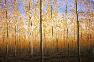 Mystery Trees in Autumn, Boardman Tree Farm, Oregon by Vincent James