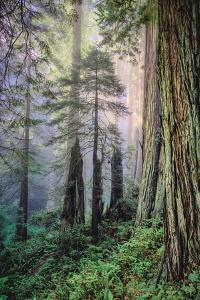 Mystical Forest, Del Norte Coast Redwoods, California by Vincent James