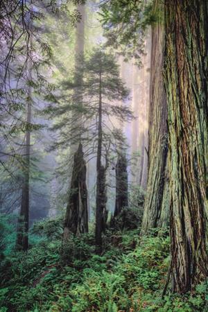 Mystical Forest, Del Norte Coast Redwoods, California by Vincent James