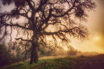 Old Oak, Sun and Fog, Mount Diablo by Vincent James