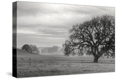 Petaluma Winter Oak Landscape, Northern California