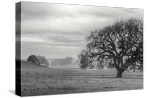 Petaluma Winter Oak Landscape, Northern California by Vincent James