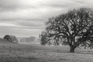 Petaluma Winter Oak Landscape, Northern California by Vincent James