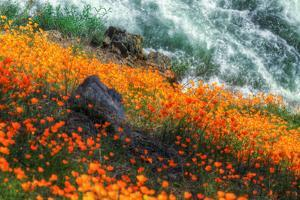 Poppies by the Merced River, Merced River Canyon by Vincent James