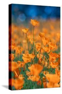 Poppy Dream Revisited Riverside by Merced River Poppies Outside Yosemite in Spring by Vincent James
