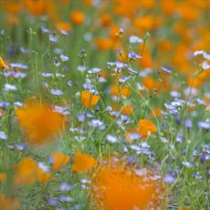 Poppy Flower Mix by Vincent James