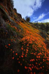 Poppy Grand View Merced River Canyon Outside Yosemite in Spring by Vincent James