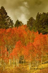 Portrait of Aspens in Autumn by Vincent James
