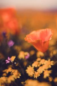 Portrait Vintage Poppy Retro Design Wildflower Spring California by Vincent James