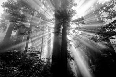 Power Source Redwood Forest Light Beams Trees Black White California Coast by Vincent James