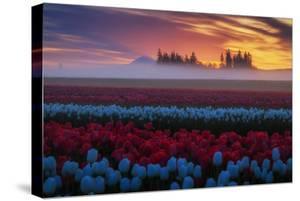 Powerful Epic Sunrise at Tulip Farm Mist Golden Light Mount Hood Oregon by Vincent James