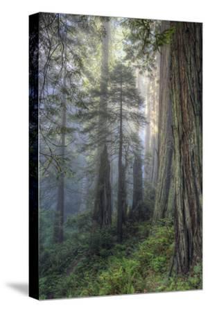 Precious Redwood Forest, California Coast