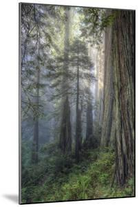 Precious Redwood Forest, California Coast by Vincent James