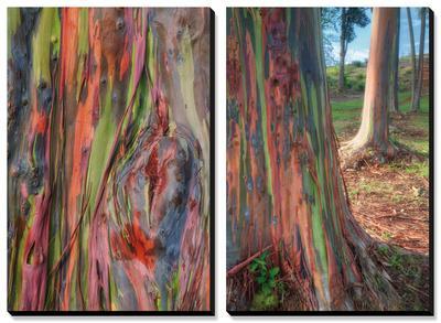 Rainbow Eucalyptus Detail, Hawaii