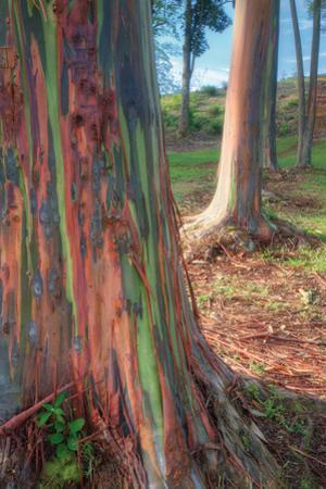 Rainbow Eucalyptus Grove, Kauai by Vincent James