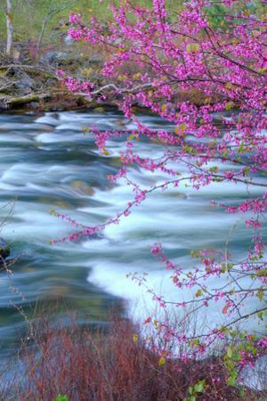 Redbud Riverside by Vincent James