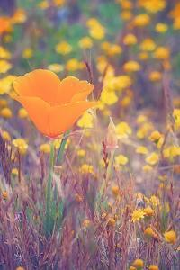 Retro Poppy by Vincent James