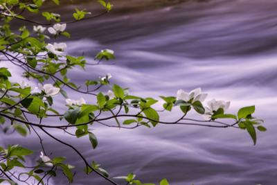River Dogwoods, Yosemite by Vincent James