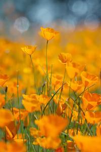 Riverside Poppies by Vincent James