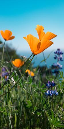 Roadside Coastal Poppies, Spring in Big Sur California Coast by Vincent James