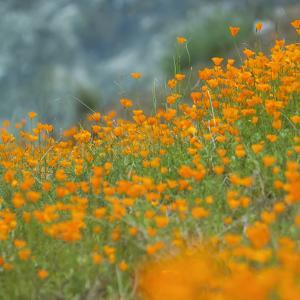 Scene of Riverside Poppies, Merced River Canyon by Vincent James