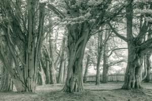 Sea Ranch Trees, California Coast by Vincent James