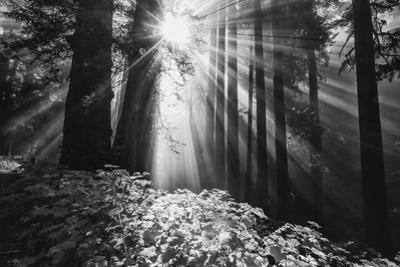 Secret Journey, Light in the Darkness, Redwood Forest California by Vincent James