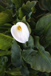 Single Cala Lilly, California Coast by Vincent James