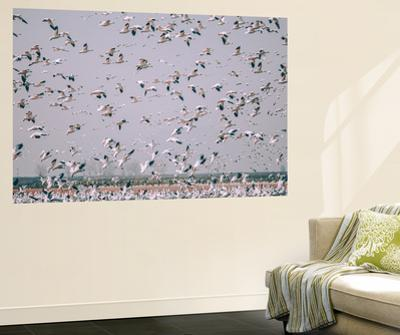 Snow Storm, Snow Geese at Merced Wildlife Refuge by Vincent James