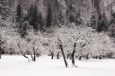 Snow Trees at El Capitan Meadow Yosemite National Park by Vincent James
