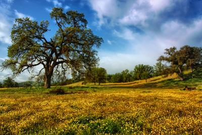 Spring Field & Tree Central California Wildflowers Oak Tree by Vincent James