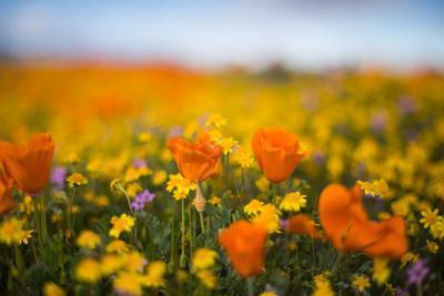 Spring Mix Poppy Scene Design Wildflower Spring California by Vincent James