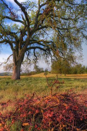 Spring Oak Scene, Central Valley, California by Vincent James