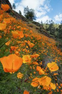 Spring Poppy Hillside, Merced by Vincent James