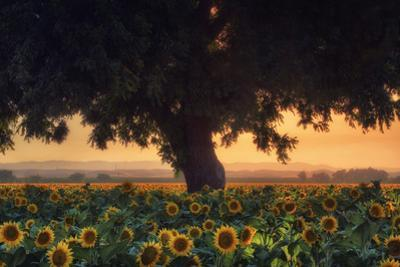 Summer Evening Sunflowers Tree & Sunset California Valley by Vincent James