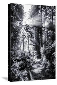 Sun Break & Mist Coast Redwoods, Del Norte State Park California by Vincent James