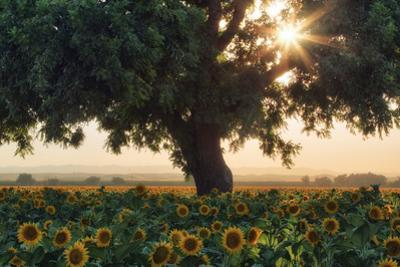 Sunflower Dream Summer in Central California Sunflowers Wildflowers by Vincent James