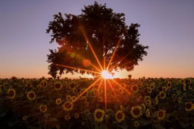 Sunset Star With Sunflowers Central Valley California Summer by Vincent James