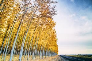 Tree Farm Road in Autumn, Boardman, Oregon by Vincent James