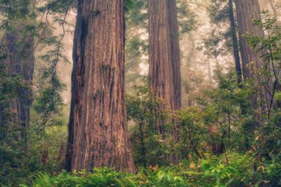 Tree World - Redwood National and State Park, California Coast by Vincent James